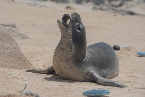 Monk seal Laysan Island photo by Matthew Chauvin