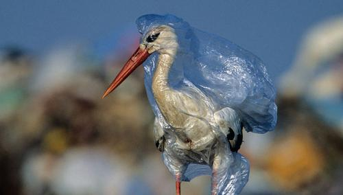 Sea bird wrapped by a plastic shopping bag