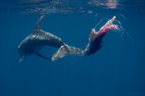 Strangled dolphin