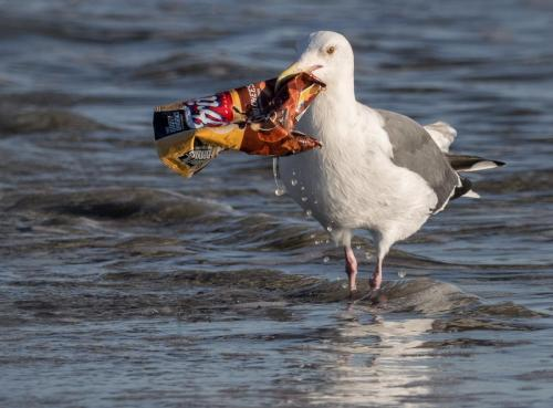 Seagull eating a plastic chip bag by Ingrid Taylar