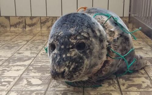 Sea lion strangled by a fishnet
