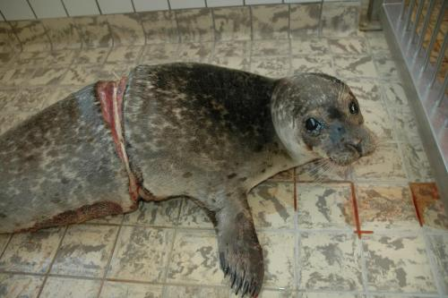 Another sea lion strangled by a fishnet